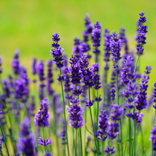 lavender essential oil alise body care